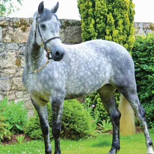 connemara ponies horses